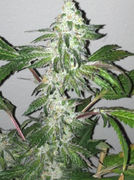 Girl Scout Cookies Fast Feminised